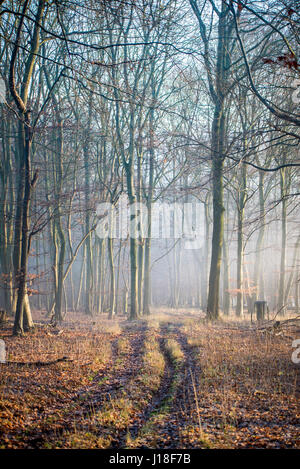 Early morning mist lingers in the beech trees - Stock Photo