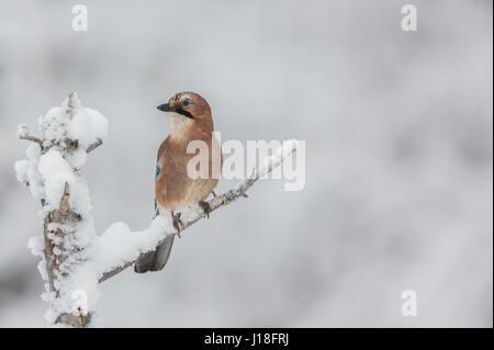Eurasian Jay, Garrulus glandarius, sitting in an old tree full of snow, Gällivare, Swedish Lapland, Sweden - Stock Photo