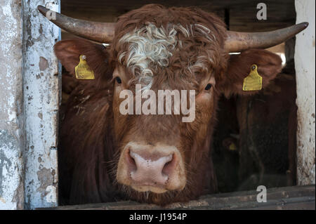 Bull looking out of the stable, Middle Franconia, Bavaria, Germany - Stock Photo