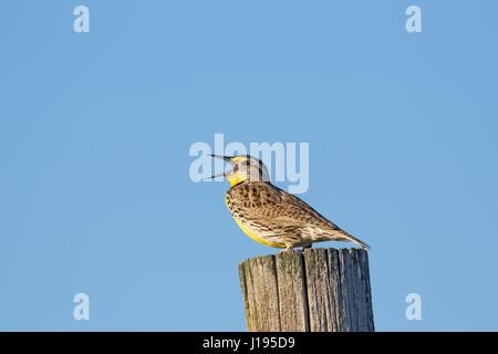 Western Meadowlark Singing - Stock Photo