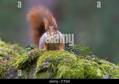 Squirrel (Sciurus vulgaris), portrait, Tyrol, Austria - Stock Photo