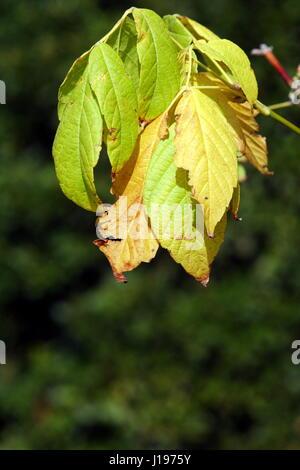 English Plane Tree Autumn leaves - Stock Photo