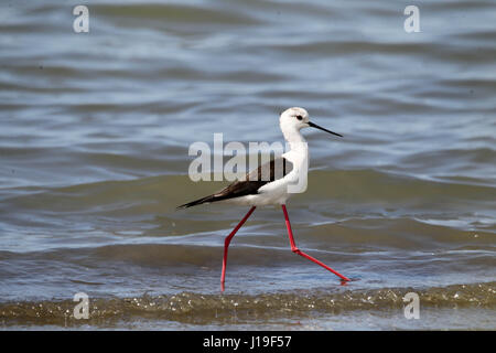 White-headed Stilt (Himantopus himantopus leucocephalus) wading in shallow water in the lagoon of Mesologgi Greece. - Stock Photo