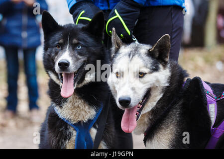Two sled huskies are sitting in a spring forest - Stock Photo