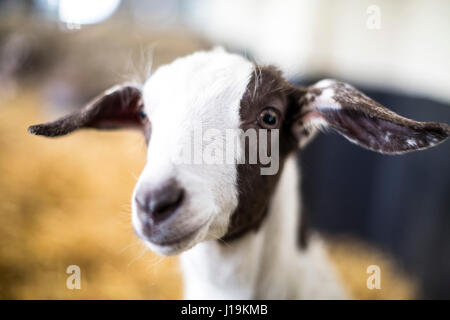 Close up photographs of goats. - Stock Photo