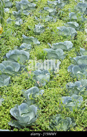 A permaculture field of Cabbage growing outside, with weeds in between. - Stock Photo