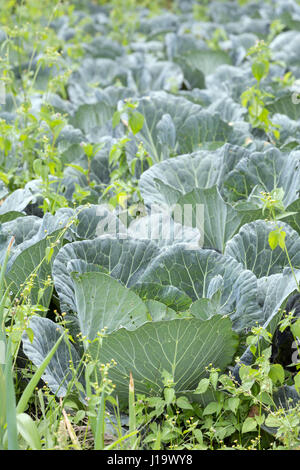 A field of Cabbage growing outside. - Stock Photo