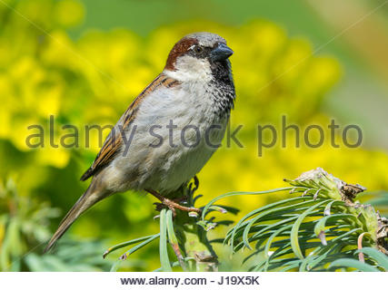 House Sparrow. Adult male House Sparrow (Passer domesticus) perched on a bush in Spring in West Sussex, England, - Stock Photo