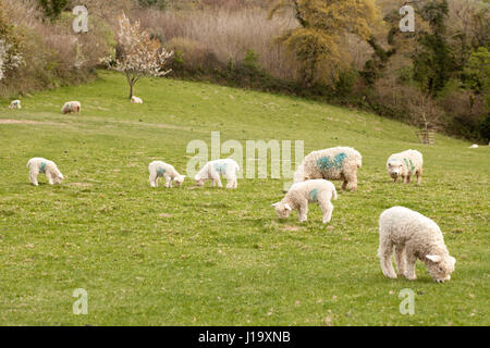 Flock of sheep grazing in a rural field. Ewes and lambs of the Devon and Cornwall Longwool breed - Stock Photo
