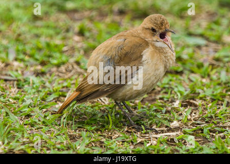 A Rufous Hornero (Furnarius rufus), or ovenbird, standing on short grass and calling - Stock Photo