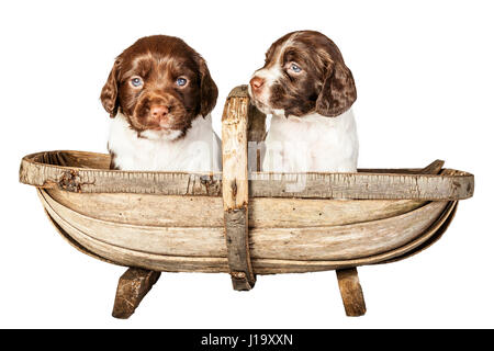 Two 4 week old liver and white English Springer Spaniel puppys in a trug - Stock Photo