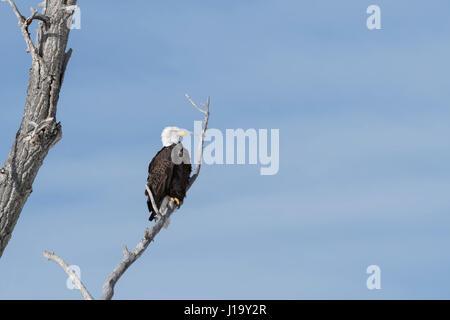 Bald Eagle / Weisskopfseeadler ( Haliaeetus leucocephalus ), perched in a cottonwood tree against blue sky, Yellowstone, - Stock Photo