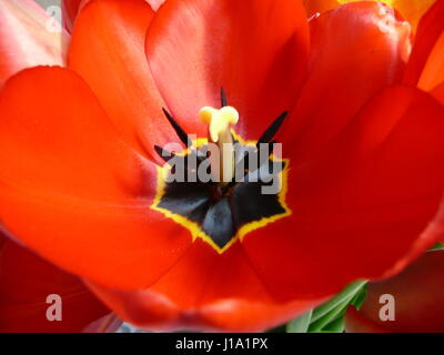 Photo of a beautiful red tulip close-up - Stock Photo
