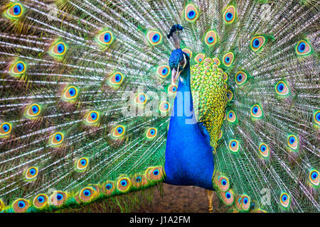 Blue India Peafowl - Pavo cristatus (Linnaeus, 1758) - Stock Photo