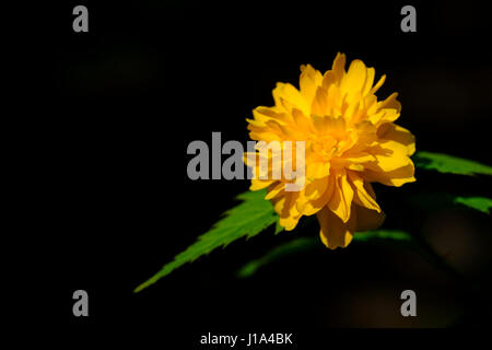 Kerria japonica plenflora or jew's mantle. A medium sized shrub with bright orange flowers in spring. This is a - Stock Photo