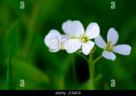Cuckoo flower, lady's smock, Cardamon pratensis, The plant grows wild in fields and meadows in he english counryside.a - Stock Photo