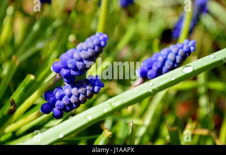 Blue grape hyacinths (Muscari) plants  in a garden - Stock Photo