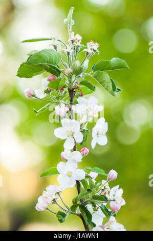 Branch of a blossoming apple tree on garden background, springtime - Stock Photo
