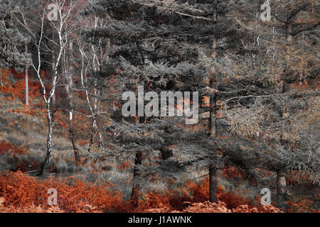 Autumnal Trees and Fern of the New Forest in duotone of Grey and Auburn - Stock Photo