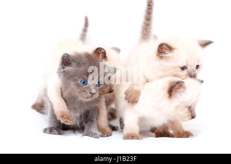 Beautiful little siamese four kittens one on the other white background. - Stock Photo