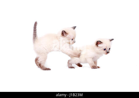 Beautiful little siamese kittens are playing on camera. Isolated on white background. - Stock Photo