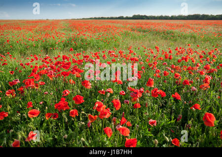Poppy farming, nature, agriculture concept - huge field of blooming poppies, industrial farming of poppy flowers - Stock Photo
