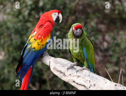 South American Scarlet macaw (Ara macao) together with a Military macaw (Ara militaris). Bird show at Rotterdam - Stock Photo