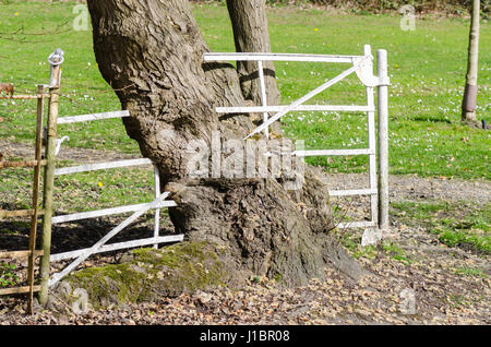 Old white metal gate with tree grown around it - Stock Photo