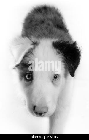 A beautiful blue merle border collie in the studio - Stock Photo