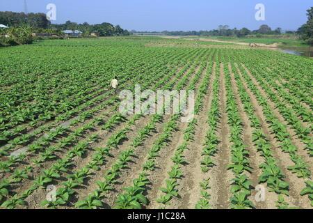 Tobacco plantation on a vast tract of land along the Maini river in Khagrachharhi's Dighinala. - Stock Photo