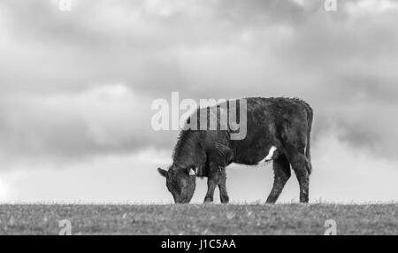 Black and white image of the side view of a single cow eating grass in a field. - Stock Photo