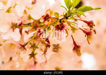north japanese hill cherry tree (Prunus sargentii) blossom in Spring