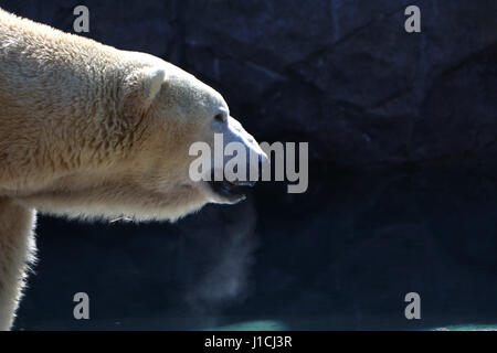 Polar bear Cincinnati Zoo with breath condensation - Stock Photo