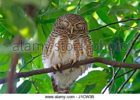 Asian barred owlet Glaucidium cuculoides Birds Sleeping - Stock Photo