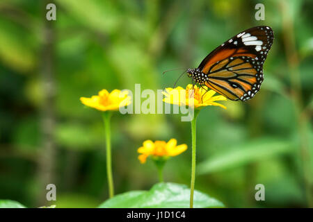 The Striped Tiger (Danaus genutia)  sitting on a yellow plant. The butterfly has it's name because of the caterpillars, - Stock Photo