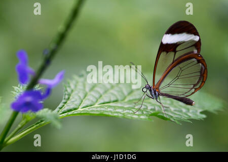 Glasswinged butterfly (Greta oto) is resting on a leaf. When a glasswinged butterfly is flying, it is for predators - Stock Photo