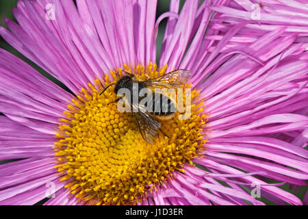 Leaf-cutter Bee (Megachile species) feeding on Erigeron (daisy family) flower in garden Cheshire UK July 9406 - Stock Photo