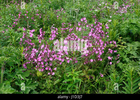 Red Campion (Silene dioica) flowers growing at Wheeldon Copse Woodland Trust reserve near Helsby Wirral Cheshire - Stock Photo