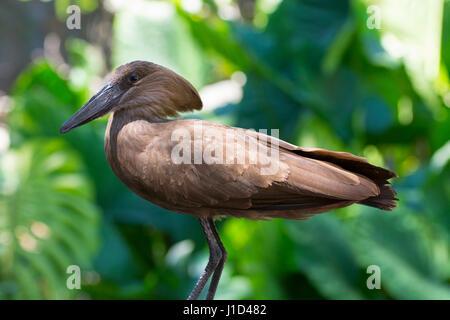 Hamerkop, Hamerkopf bird at Animal Kingdom, Disney World Resort, Orlando Florida - Stock Photo