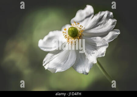 An isolated white Japanese Anemone with green and yellow blurred background. Also known as Chinese Anemone, Thimbleweed - Stock Photo