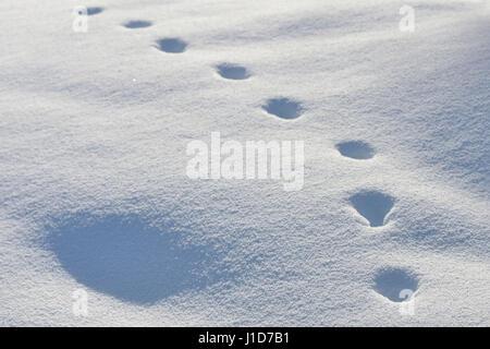Animal track of a Red Fox / Rotfuchs ( Vulpes vulpes ) in winter, walking through deep snow, Yellowstone NP, Wyoming,USA. - Stock Photo