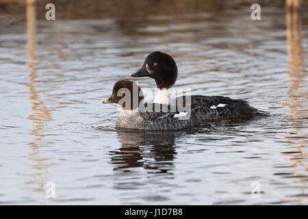 Barrow's Goldeneye / Spatelente (Bucephala islandica ) in winter, female together with young, swimming, Greater - Stock Photo