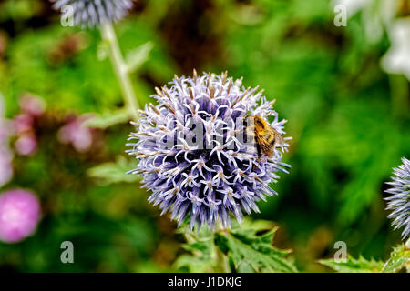 Close up of a Honey Bee collecting pollen from the stamen of a ball shaped purple Globe Thistle flower. - Stock Photo