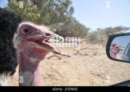 Israel, Aravah, The Yotvata Hai-Bar Nature Reserve breeding and reacclimation centre. Ostrich, Struthio camelus - Stock Photo