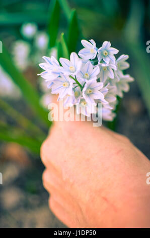 Puschkinia scilloides - view of blooming spring flowers growing in a garden and being tears off with someone s hand - Stock Photo