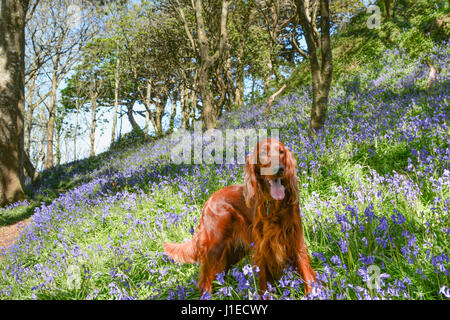 Newlyn, Cornwall, UK. 21st April 2017. UK Weather. A  sunny lunchtime walk in the bluebell woods for these Irish - Stock Photo