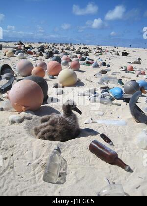 A Laysan Albatross chick sits on a beach filled with plastic and marine debris washed ashore on Laysan Island in - Stock Photo