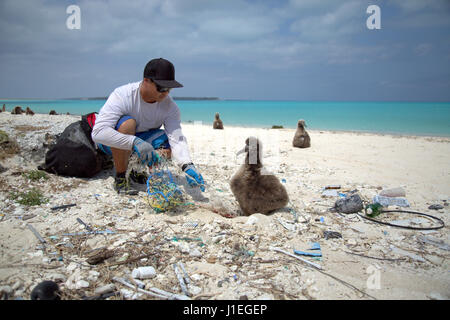 A NOAA Marine Debris volunteer removes a discarded fishing net from the nest of a Laysan Albatross chick sits on - Stock Photo