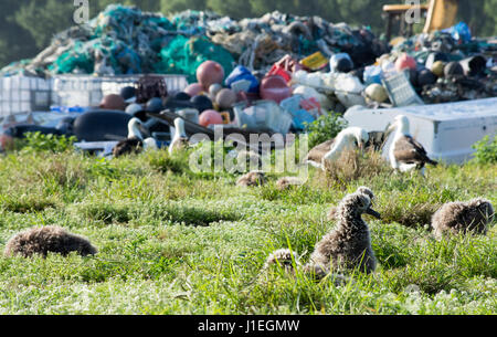 Laysan Albatross chick nest surrounded by thousands of tons of marine debris washed up on the remote Laysan Island - Stock Photo