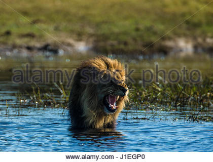 A lion, Panthera leo, stands in water roaring. - Stock Photo